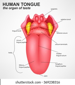 tongue anatomy images, stock photos \u0026 vectors shutterstock grade 3 parts of tongue tongue anatomy images, stock photos
