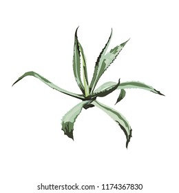 Realistic illustration of an agave plant. Isolated on white background.
