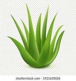 Realistic Illustration Of Aloe Vera Transparent Background With Gradient Mesh, Vector Illustration