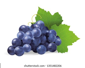 Realistic illustration of an isolated bunch of black grapes with green leaves. Vector illustration