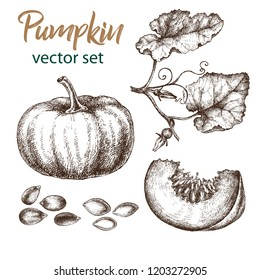 Realistic illustration of pumpkin . Botanical drawing. Sketsh hand drawn. Design elements for postcards, ads, promotional invitations, medical markets and vegetarian cafe.
