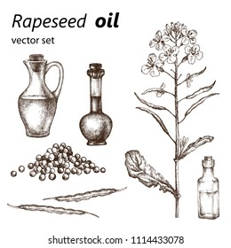 Realistic illustration of rapeseed . Botanical drawing. . Design elements for postcards, ads, promotional invitations, medical markets and vegetarian cafe.