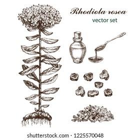 Realistic illustration of rhodiola rosea . Botanical drawing. Sketsh hand drawn. Design elements for postcards, ads, promotional invitations, medical markets .