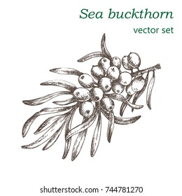 A realistic image of a branch of sea-buckthorn with berries. Sketch painted in ink. The design element for advertising sweets, cosmetics and health products.