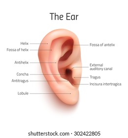 Realistic infographic ear icon, isolated on white background. Vector illustration.