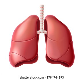 Realistic lungs anatomy structure. Vector respiration system organ. Human lungs 3d model for medical drugs, pharmacy and education design.