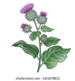 Realistic medical plant Burdock. Vintage engraving. Vector illustration art. Color sketch. Hand drawn of flower. Alternative medicine series.