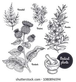 Realistic medical plant Horsetail, Brahmi, Manuka, Burdock. Vintage engraving. Vector illustration art. Black and white. Hand drawn of flowers. Alternative medicine series.