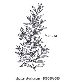Realistic medical plant Manuka. Vintage engraving. Vector illustration art. Black and white. Hand drawn of flower. Alternative medicine series.