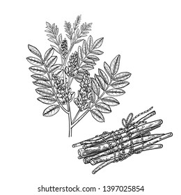 Realistic medicinal plant Mulethi or Liquorice. Branch, flowers, leaves and root. Vintage engraving. Vector illustration. Black and white. Hand drawn medical herb. Alternative ayurvedic medicine