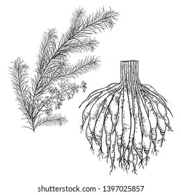 Realistic medicinal plant Shatavari. Branch with flowers, leaves and root. Vintage engraving. Vector illustration. Black and white. Hand drawn of medical herb. Alternative ayurvedic medicine series.