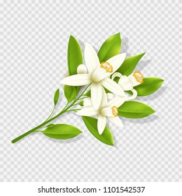 Realistic orange flowers isolated on transparent background. Top view on mandarin branch with flowers. Vector illustration.