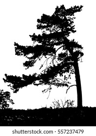 Realistic pine tree silhouette (Vector illustration).Eps10