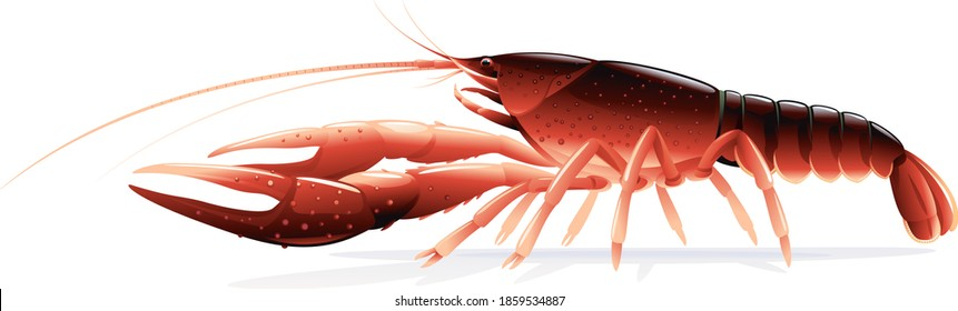 Realistic red swamp crayfish isolated illustration, one big freshwater North American crayfish on side view, Europe invasive species