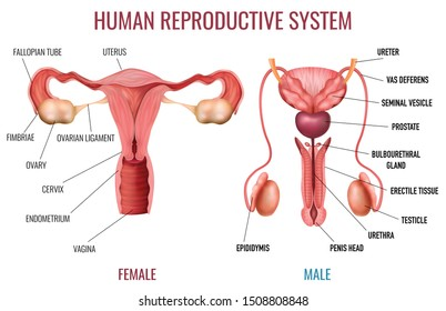 Realistic set of male and female human reproductive system with labelled parts on white background isolated vector illustration