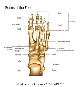 Realistic skeleton of human leg with titles of bones of foot. Anatomy of joints, dorsal top view. For advertising or medical publications. Vector illustration stock vector.