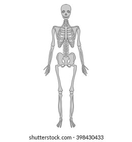 realistic skeleton on a white  background