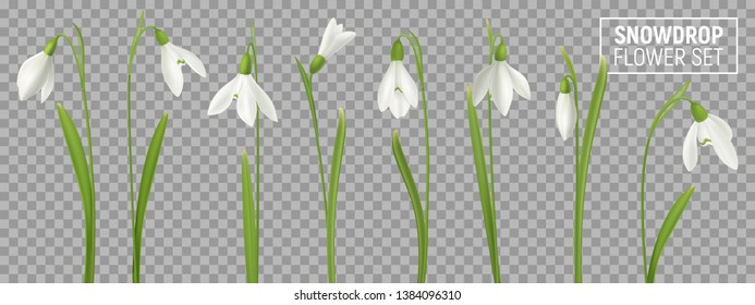 Realistic snowdrop flower set on transparent background with isolated realistic images of natural flowerage with stems vector illustration