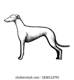 Realistic spanish greyhound. Dog breed - Vector illustration