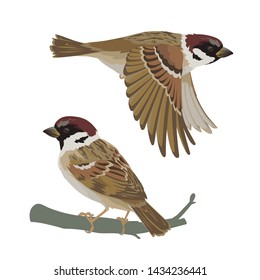 Realistic sparrow flying and sitting on branch. Vector illustration of little bird sparrow in hand drawn realistic style isolated on white background. Element for your design, print.