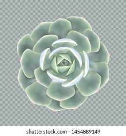 Realistic succulent plant echeveria. Popular indoor succulent rosette shaped. Vector illustration for your design and business.