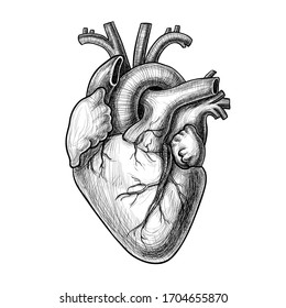 Realistic vector heart, hand drawn illustration