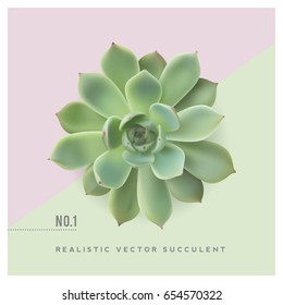 realistic vector illustration of a succulent plant (echeveria), top view