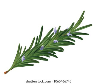 Realistic vector isolated rosemary flower leaves - realistic vector branch floral rosemary