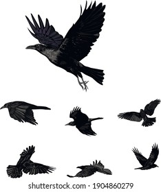 Realistic vector ravens set - Flying vector isolated
