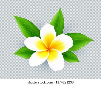 Realistic vector white frangipani flower isolated on transparent grid background
