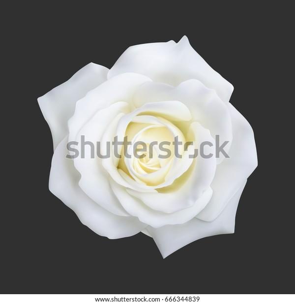 Реалистичная белая роза, векторная иллюстрация на черном фоне
