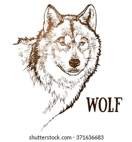 realistic wolf hand drawn vector illustration
