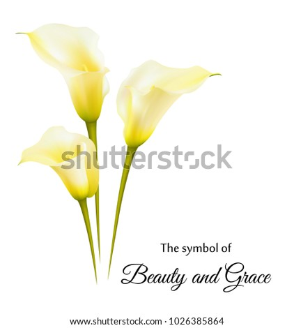 Realistic Yellow Calla Lily Symbol Beauty Stock Vector Royalty Free