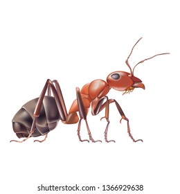 Red ant isolated white background