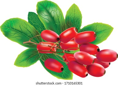 Red barberries with leaves on white background