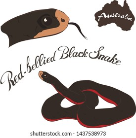 Red Bellied Black Snake vector image isolated on white background. Red-belly in full growth and head. Australian dangerous snake black with red color. Fauna Australia. Venomous snake.