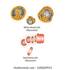 Red blood cells, white blood cells, blood cells Shapes used in writing biology textbooks. Vector Graphics AI
