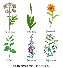Red clover, blossom shamrock wild field flower Plantain, Calendula, Nettle, Valeriana officinalis, Chamerion, Hypericum hand drawn vector isolated on white background, for cosmetic, design package tea