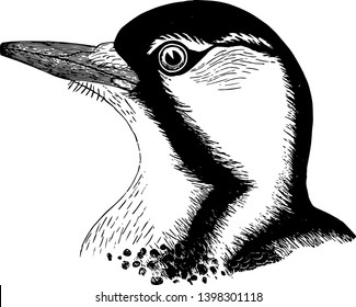 Red cockaded Woodpecker in which body spotted and crosswise banded vintage line drawing or engraving illustration.