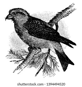 Red Crossbill is a bird in which each mandible of the bill is laterally deflected vintage line drawing or engraving illustration.