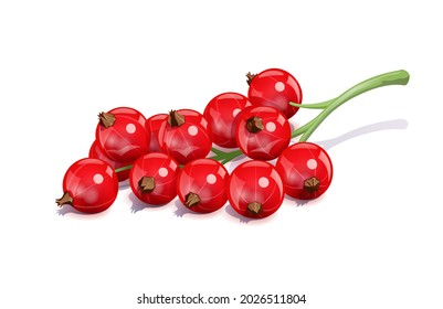 Red currant. Ripe delicious berry, Isolated on white background. Eps10 vector illustration.