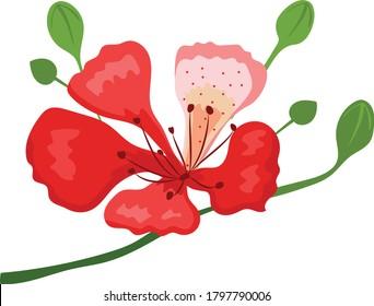 red flamboyant flower in summer