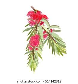 Red Flowering Bottlebrush Tree realistic design