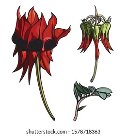 Red flowering set of Sturt's Desert Pea or Swainsona formosa wildflower illustrations close-up on a white back ground