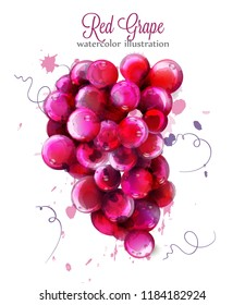 Red Grapes watercolor Vector. Painted splash style illustrations