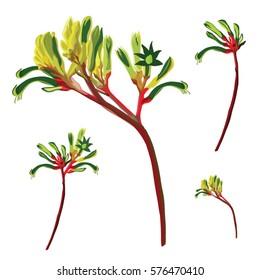 Red and Green Australian Kangaroo Paw Vector Illustration on whitel background