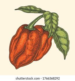 red habanero chili vector illustration