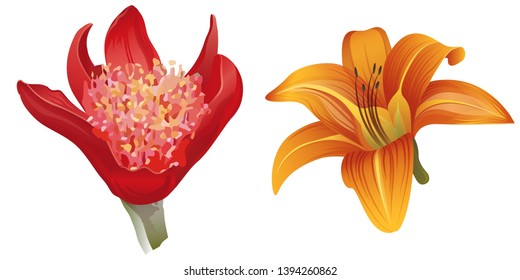 Red Haemanthus blood lily. Orange Daylily. Vector illustration. Floral botanical flower. Wild leaf wildflower isolated. Exotic tropical hawaiian jungle. Isolated illustration element.