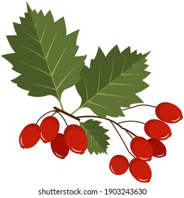 Red hawthorn berries on stem with leaves flat vector icon. Tree brunch with juicy fruit isolated on white background. Ripe hawberry for herbal medicine, natural tea and jam ingredient design