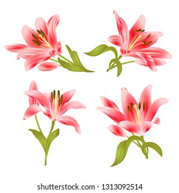 Red Lily  Lilium candidum,flower with leaves and bud on a white background set two vintage vector illustration editable hand drawn